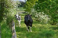 Holstein heifers and May blossom, Dunsop Bridge, Clitheroe, Lancashire.
