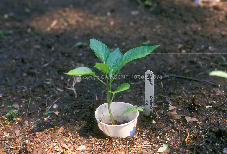 Seedling collar to protect young newly transplanted pepper vegetable plant in the garden