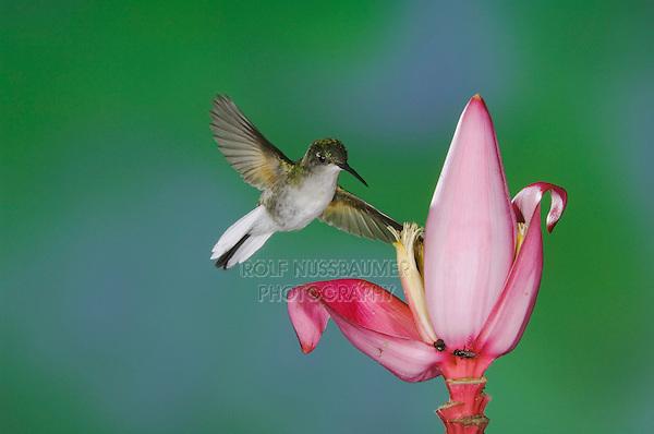 Black-bellied Hummingbird, Eupherusa nigriventris, female in flight feeding on Ornamental Banana plant flower(Musa velutina), Central Valley, Costa Rica, Central America, December 2006