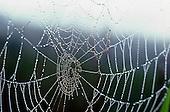 Morning Dew on Cobweb
