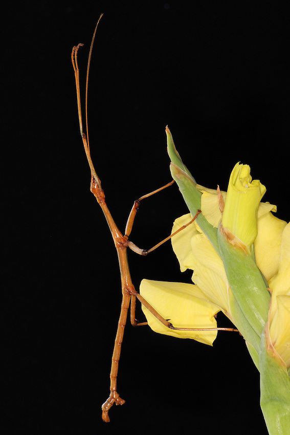 """The Northern Walkingstick is our most common """"stick insect,"""" which camouflages itself to look like a stick."""