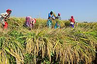 NEPAL, Terai, village Kolhuwa , the Terai is the grain basket of the country, rice farming, women harvest rice with sickle / NEPAL, Terai, Dorf Kolhuwa, das Terai ist die Kornkammer Nepals, Frauen ernten Reis per Hand mit der Sichel