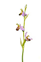 Bee Orchids {Ophyris apifera} photographed against a white background in mobile field studio. Peak District National Park, Derbyshire, UK. June. Digital composite.