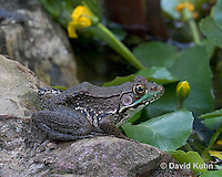 0714-07ss  Green frog - Lithobates clamitans, formerly Rana clamitans © David Kuhn/Dwight Kuhn Photography