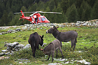 "Switzerland. Canton Ticino. Chironico valley. Intermediate landing for a Rega Agusta AW109 SP Grand ""Da Vinci"" helicopter on a rescue mission. Three donkeys eat grass on pastures. All Rega helicopters carry a crew of three: a pilot Corrado Sasselli (R), an emergency physician, and a paramedic Paolo Menghetti (L) who is also trained to assist the pilot for radio communication, navigation, terrain/object avoidance, and winch operations. The pilot and the paramedic wait for a radio call from the emergency doctor, who has been winched down on the ground to give the prime cure at an injured hiker. The name Rega was created by combining letters from the name ""Swiss Air Rescue Guard"" as it was written in German (Schweizerische Rettungsflugwacht), French (Garde Aérienne Suisse de Sauvetage), and Italian (Guardia Aerea Svizzera di Soccorso). Rega is a private, non-profit air rescue service that provides emergency medical assistance in Switzerland. Rega mainly assists with mountain rescues, though it will also operate in other terrains when needed, most notably during life-threatening emergencies. As a non-profit foundation, Rega does not receive financial assistance from any government. People in distress can call for a helicopter rescue directly (phone number 1414). The AgustaWestland AW109 is a lightweight, twin-engine, helicopter built by the Italian manufacturer Leonardo S.p.A. (formerly AgustaWestland, Leonardo-Finmeccanica and Finmeccanica). Leonardo S.p.A is an Italian global high-tech company and one of the key players in aerospace. In close collaboration with the manufacturer, the Da Vinci has been specially designed to cater for Rega's particular requirements as regards carrying out operations in the mountains. It optimally fulfills the high demands made of it in terms of flying characteristics, emergency medical equipment and maintenance. Safety, performance and space have been increased, and maintenance and noise emissions reduced. The Chironico valley is a valle"