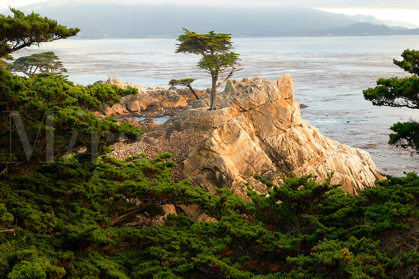 The Lone Cypress (Cupressus Macrocarpa) on the 17 Mile Drive on the Monterey Peninsula, California
