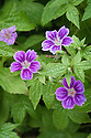 Geranium nodosum 'Clos du Coudray', a hardy geranium with small, rosy purple trumpet-shaped flowers, paler along the edges, which sit just above a mound of shiny leaves. Flowers June-September.