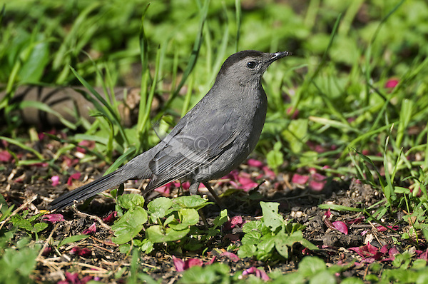 """Gray Catbird (Dumetella carolinensis) likes to stay hidden in deciduous thickets and backyards. Song is a catlike """"mew"""".  Carolinian Forest near Point Pelee National Park. Spring. Lake Erie, Ontario. Canada."""