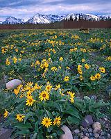 Field of Arrowleaf Balsamroot (Balsamoriza sagittata) below the Teton Range; Grand Teton National Park, WY