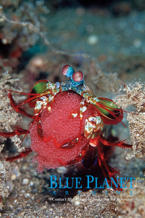 peacock mantis shrimp, Odontodactylus scyllarus, carrying eggs, Lembeh Straits, Sulawesi, Indonesia, Pacific Ocean