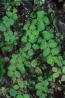 Häutiges Neusternmoos, Hautfarnähnliches Neusternmoos, Hautfarnähnliches Blausternmoos, Cyrtomnium hymenophylloides