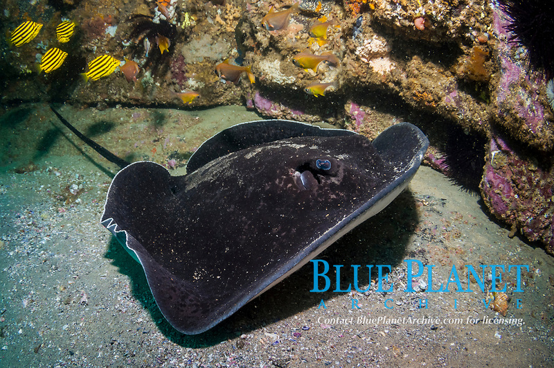 round ribbontail ray or black blotched stingray, Taeniura meyeni, Green Island, South West Rocks, New South Wales, Australia, South Pacific Ocean