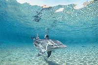 Wild Bottlenose Dolphin, Tursiops truncatus, at surface, Nuweiba, Egypt, Red Sea., Northern Africa