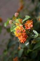 Orange and yellow flowering plant