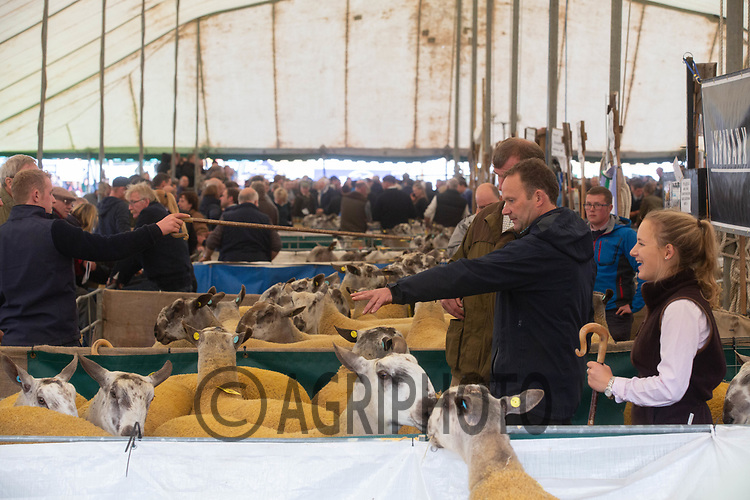 Buyers looking at Blueface Leicester Rams at Kelso Ram Sales<br /> ©Tim Scrivener Photographer 07850 303986<br />      ....Covering Agriculture In The UK....