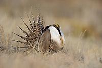 Strutting male Gunnison Sage-Grouse (Centrocercus minimus). Gunnison County, Colorado. April.