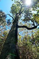 Looking up at a kauila tree, Hawai'i.