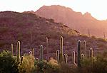 Suguaro, chollo, prickly pear and ocatillo cacti, Saguaro National Monument, Arizona