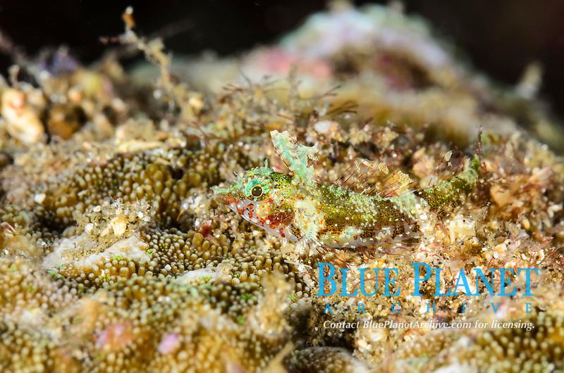 Miracle triplefin, Enneapterygius mirabilis, Lembeh Strait, North Sulawesi, Indonesia, Pacific Ocean