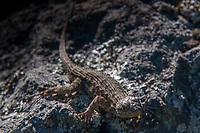 Western Fence Lizard (Sceloporus occidentalis), Mt. Tamalpais, Marin County, California, US