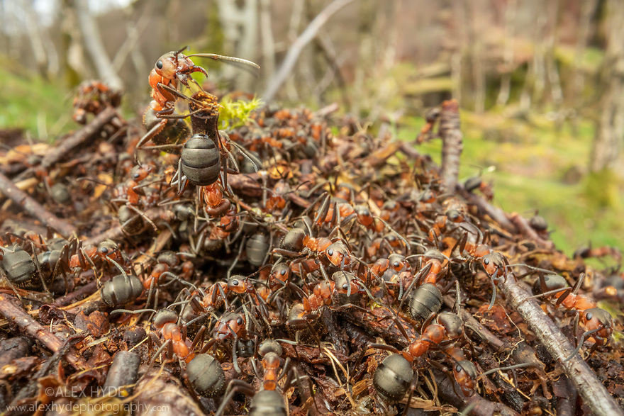 Northern Hairy Wood Ants (Formica lugubris) emerging in early spring to bask. Once workers have warmed up above ground, they go back into the nest to transfer their heat. In this way the underground parts of the nest are warmed. Peak District National Park, Derbyshire, UK. March.