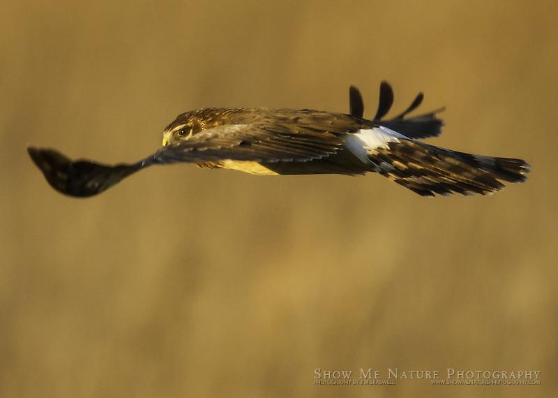Northern Harrier female, hunting over dry marsh