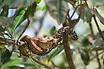 A rainbow python resting in a mangrove tree near Manuel Antonio National Park, Costa Rica