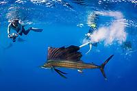 Stephen Wong and Takako Uno photograph Atlantic sailfish, Istiophorus albicans, attacking bait ball of Spanish sardines (aka gilt sardine, pilchard, or round sardinella), Sardinella aurita, off Yucatan Peninsula, Mexico (Caribbean Sea)