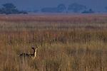 Puku (Kobus vardonii) male in savanna, Kafue National Park, Zambia