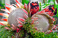 Protea flower arrangement, Maui