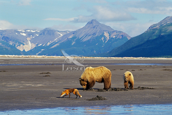 Grizzly Bears--sow with yearling cub--digging razor clams on beach facing Shelikof Strait in Katmai National Park, Alaska.  A red fox is looking around for scraps left by the bears.
