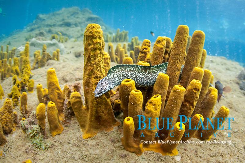 spotted moray, or black spotted moray eel, Gymnothorax moringa, swimming among yellow tube sponges, Aplysina fistularis, Dominica, Caribbean Sea, Atlantic Ocean