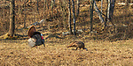 Male eastern wild turkey strutting for a hen in northern Wisconsin.