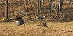 Male eastern wild turkey strutting for a hen in northern Wisconsin.