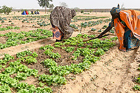NIGER, Maradi, village Dan Bako, project poverty reduction and adaption of climate change, community garden, vegetable farming with irrigation , water is pumped by solar powered pump, women weeding a salad field/ Projekt Armutsbekaempfung und Anpassung an den Klimawandel, Gemuesegarten mit Bewässerung mit Solar Panel für Wasserpumpe , Frauen jäten Unkraut