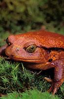 Guinet's Tomato Frog/Southern Tomato Frog - female..Northeastern Madagascar. Captive..Dyscophus guineti.