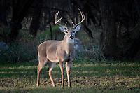 10 Point Whitetail Buck, San Angelo, Texas