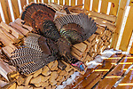Harvested spring turkey in a wood shed.