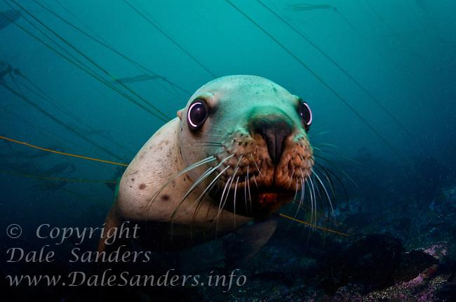 Stellers Sea Lion (Eumetpias jubatus) underwater at Race Rocks off Vancouver Island, British Columbia, Canada.