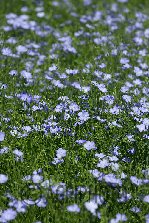 30-5-2021 Linseed flowering in Rutland<br /> ©Tim Scrivener Photographer 07850 303986<br />      ....Covering Agriculture In The UK....