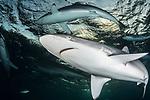Caribbean Reef Sharks overhead, Cuba Underwater, Jardines de la Reina, Protected Marine park underwater, Reef Sharks, Sharks,Carcharhinus perezii