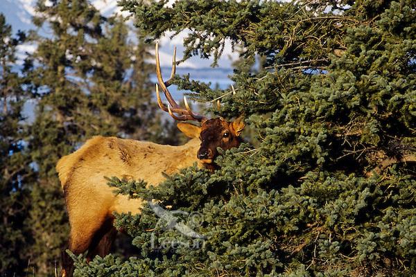 Rocky Mountain Elk (Cervis elaphus) bull, Northern Rockies.  Fall.