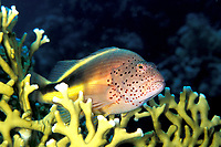 blackside hawkfish, Paracirrhites forsteri, on fire coral, Egypt, Red Sea