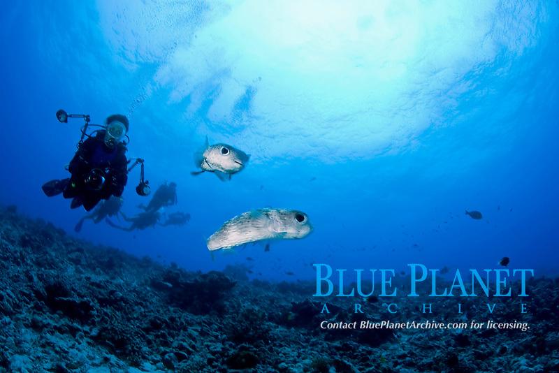 scuba diver photographer and couple of Porcupine fish, Diodon hystrix, dive site Tiputa pass, Rangiroa Atoll, Tuamotu Archipelago, French Polynesia, Pacific Ocean