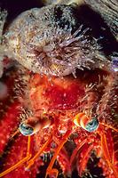hermit crab, Dardanus arrosor, with anemone, Calliactis parasitica, Vela Luka, Korcula island, Croatia, Adriatic Sea, Mediterranean