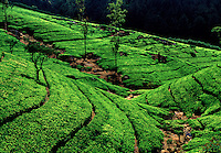 Hill Country Ceylon Tea Plantation Nuwara Eliya Sri lanka.