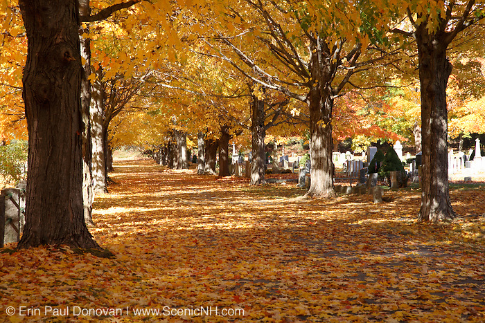 Maple trees in the forest during the autumn months in scenic New Hampshire USA, which is part on New England