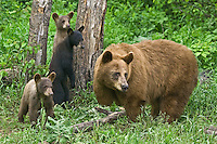 Cinnamon Black Bear family standing near the edge of a forest
