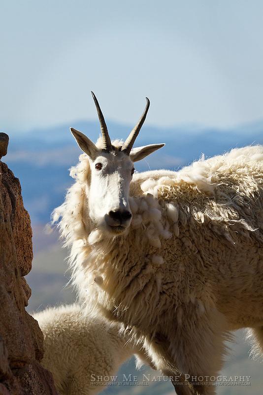 Mountain Goat ewe