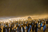 king penguin, Aptenodytes patagonicus, Saint Andrews Bay, South Georgia, South Atlantic Ocean